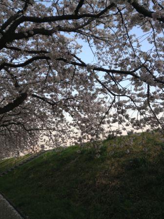 桜2013年_R.JPG